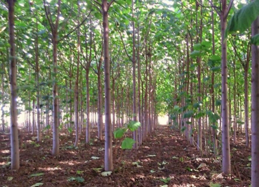 طرح توجیهی پرورش درخت پالونیا-فرصت سرمایه گذاری۲۷۲