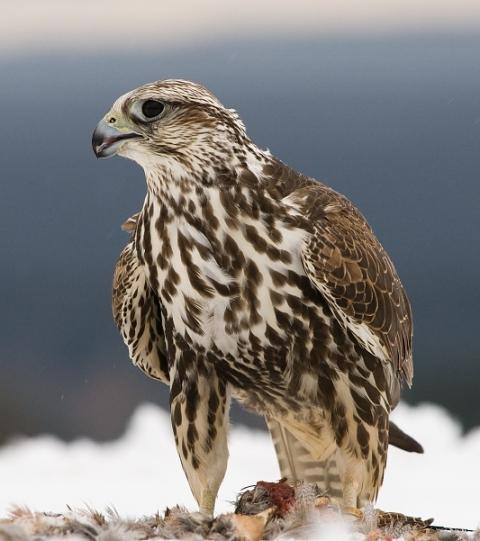 طرح توجیهی پرندگان شکاری