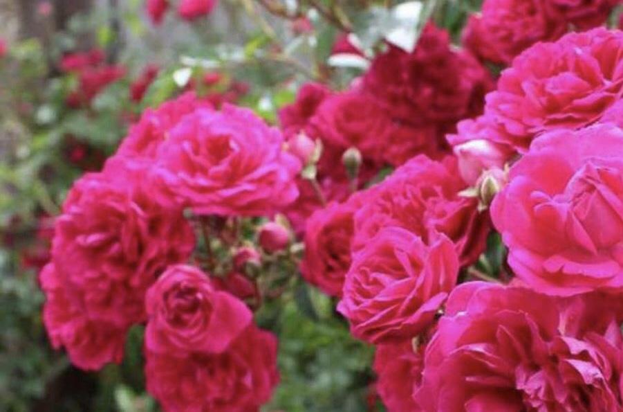 طرح توجیهی پرورش گل محمدی-فرصت سرمایه گذاری۲۸۷