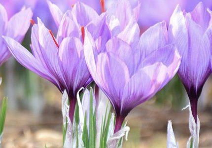 طرح توجيهي پرورش زعفران